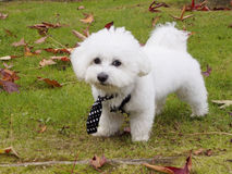 Cute bichon maltese with mope tie. In the park Stock Images