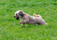 Cute bichon running. On the grass Royalty Free Stock Photo