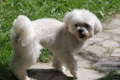 Cute bichon Stock Photography