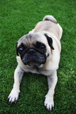 Cute Biege Pug Lying on Grass. Adorable beige pug lying down outdoors with a green grass background Royalty Free Stock Photos