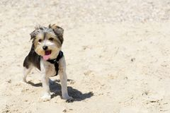 Free Cute Biewer Yorkshire Terrier Puppy On Beach Royalty Free Stock Photo - 117083095