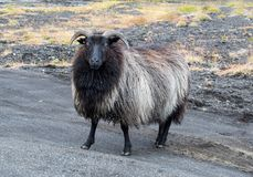 Cute big black ram sheep standing in the road and looking with interest. royalty free stock photography