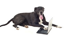 Cute big dog with laptop royalty free stock photography