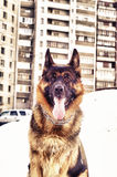 German shepherd outside Royalty Free Stock Photos