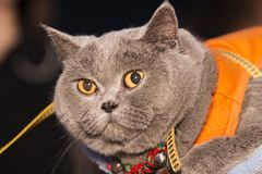 A fat british shorthair looking at the camera stock images