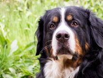 Cute big Greater Swiss Mountain dog Stock Images