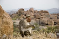Cute big monkey eating banana in the wild on the background of natural stones stock photo