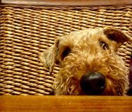 Cute big pet dog begging for food at table. A very cute but quite naughty pet Airedale Terrier puppy dog smells the goodies on the table and climbs up on the Stock Image