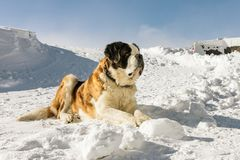 Cute big Saint Bernard dog in snow mountain landscape. St. Bernard Dog ready for rescue operation in winter on the mountain. Cute big Saint Bernard dog in snow Royalty Free Stock Images