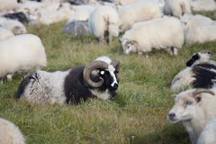 Cute big white and black ram sheeps in the herd with long horns looking at you close up. royalty free stock images