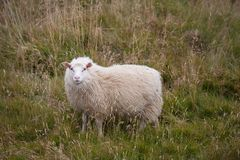 Cute big white ram sheep grazing in the field and looking with interest. royalty free stock photo