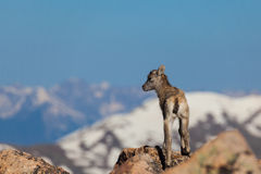 Cute Bighorn Sheep Lamb Royalty Free Stock Images