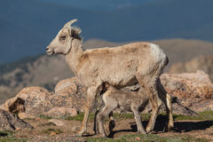 Cute Bighorn Sheep Lamb Nursing Stock Photos