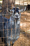 Cute Billy Goat royalty free stock images
