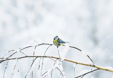 Cute bird azure tree on a branch covered with white snow flakes. In the garden Stock Photos