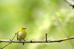 Cute bird on the branch / White-eye Royalty Free Stock Photo