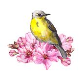 Cute bird in cherry blossom, sakura flowers in spring time. Watercolor twig. Cute bird with cherry blossom, sakura flowers in spring time. Watercolor twig vector illustration