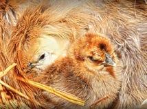 Cute bird chicks Stock Images