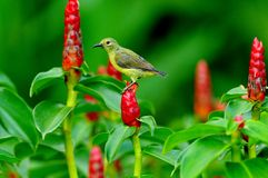 Sunbird Cute bird in the garden Stock Image