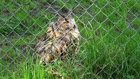 Cute bird horned eagle owl bubo bubo behind the fence in zoo zoological garden stock video footage