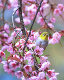 Cute bird sitting on blossom tree branch Royalty Free Stock Image