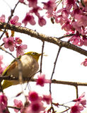 Cute bird sitting on blossom tree branch Royalty Free Stock Photo