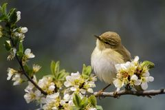 Cute bird sitting on a blossoming branch stock photo