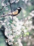 Cute bird tit sitting on cherry branch in white flowers in may spring fragrant garden