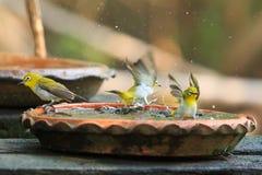 Cute birds bathe in a small pot Stock Photos