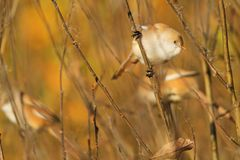 Cute birds sitting on a branch of autumn leaves Royalty Free Stock Photos