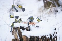 Cute birds Tits in the Park sitting on a stump. And eating grain at winter Royalty Free Stock Photos