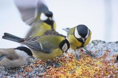Cute birds Tits in the Park sitting on a stump. And eating grain at winter Stock Images