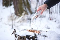 Cute birds Tits in the Park sitting on a stump. And eating grain at winter. hand with bottle gives more grain Stock Images