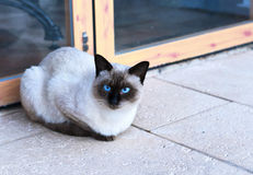 Cute birma cat. Or siamese cat sitting in front of a door and looking into the camera Stock Images