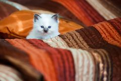 Cute birman kitten sitting on bed Stock Photo