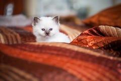 Cute birman kitten sitting on bed Stock Images