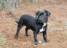 Cute Black Beagle Dachshund mixed breed dog mutt Royalty Free Stock Photo