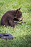 Cute black bear cub Stock Photos