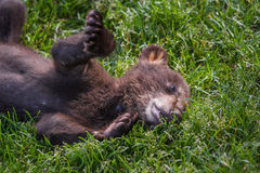 Cute black bear cub Stock Images