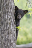 Cute Black Bear Cub. Cute Black Bear peering around tree in the springtime Royalty Free Stock Images