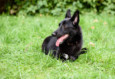 Cute black Belgian Shepherd dog lying on green grass. Cute Belgian Sheepdog dog portrait Stock Image