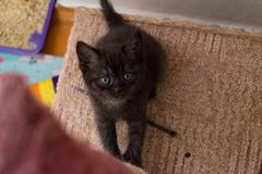 Funny black British kitten with blue eyes sitting on cat house and looking up. Cute black British kitten sitting on cat house and looking up Royalty Free Stock Images
