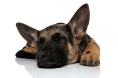 Cute black and brown german shepard lying and sleeping royalty free stock images