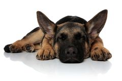 Cute black and brown shepard dog sleeping and lying royalty free stock photos