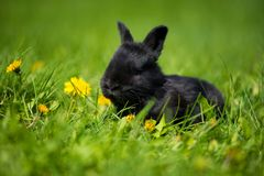 Cute black bunny with a dandelion flower sitting in the grass. Picturesque habitat, life in the meadow. Royalty Free Stock Image