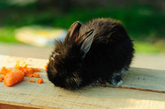 Cute Black Bunny Royalty Free Stock Images
