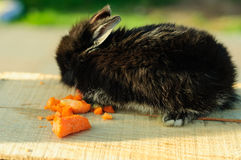 Cute Black Bunny Stock Image