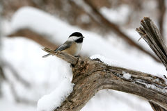 Cute Black-Capped Chickadee bird on a branch in the snow. Photo of a cute little black-capped chickadee bird perched on a branch during a snowy winter day Stock Image