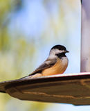 Cute Black-capped Chickadee posed perfectly. Royalty Free Stock Images