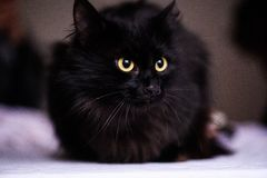 Cute black cat. Adorable, animal, attention, background, beautiful, breed, canadian, domestic, eyes, face, feline, fluffy, funny, fur, grey, kitten, kitty stock photos